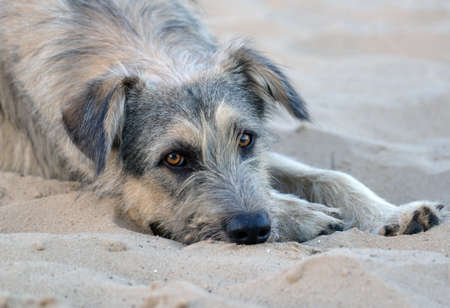 A lone stray dog lies on the sand on a deserted beach Stock Photo