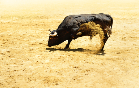 toros: Angry bull in arena Stock Photo