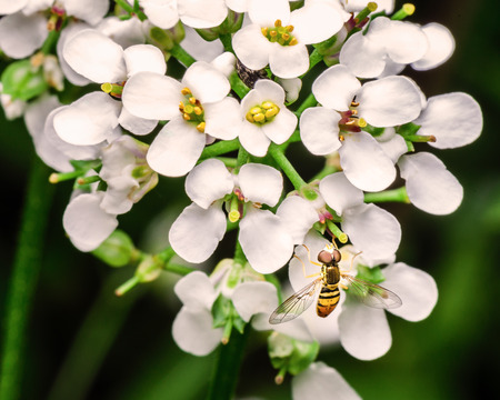 An adult Hoverfly is sitting on a cluster of white flowers in my backyard garden.  Hover flies look similar to bees.