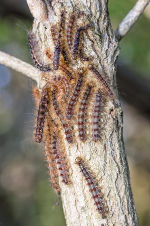 destructive: Large hoard of gypsy moth caterpillar infesting a oak tree limb.
