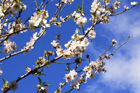 peach tree: Peach tree and clear blue sky