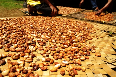Cacao harvest on Sulawesi, Indonesia, ready to be processed into chocolate photo