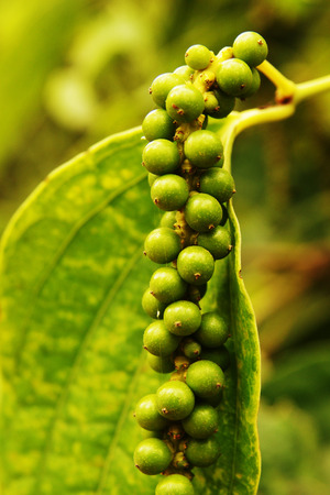 Close-up of green pepper plants, unripe peppercorns growing, precious spice  photo