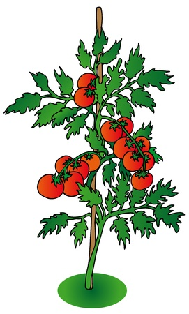 tomato cartoon: Bush tomato on white background - vector illustration