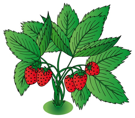 Red strawberry with leaves - vector illustration