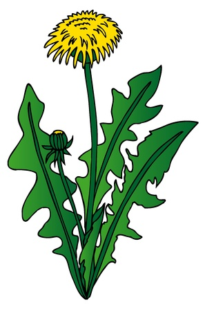 Dandelion on white background - vector illustration.