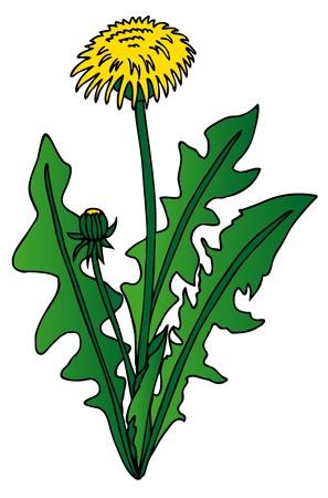 Dandelion on white background - vector illustration.