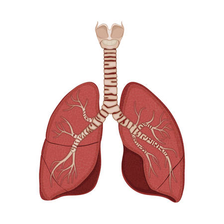 Cross section of human lungs and trachea Vector Illustratie