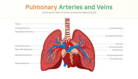 Arterias y venas pulmonares. Circulación pulmonar.