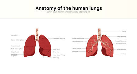Anatomy of the human lungs