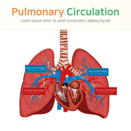 Pulmonary circulation. Blood circulation. Vector illustration
