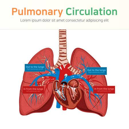 Pulmonary circulation. Blood circulation. Vector illustration