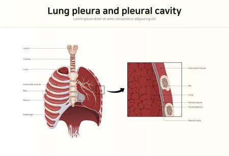 Lung pleura and pleural cavity
