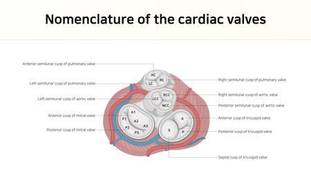 Nomenclature of the cardiac valves Vectores