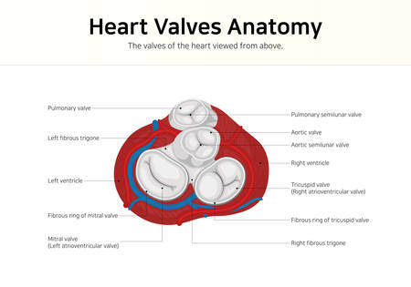 Heart Valves Anatomy. The valves of the heart viewed from above.