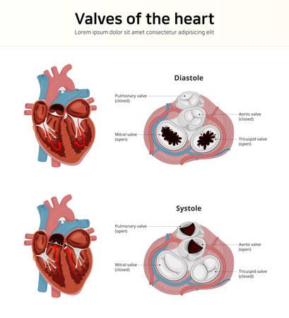 Travail de la valve cardiaque. Valves cardiaques