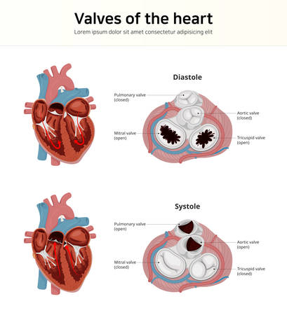 Work of the heart valve. Cardiac valves 向量圖像