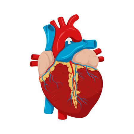Human heart anatomy. Medical science illustration. Education illustration