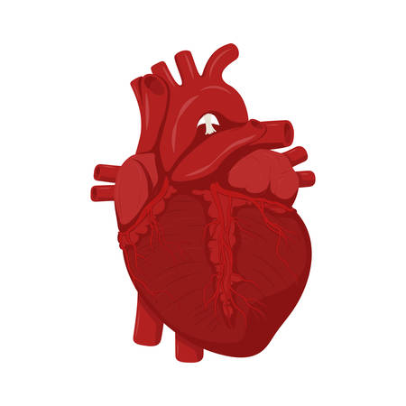 Human heart anatomy. Medical science  illustration. Education illustration