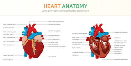 Anatomy of the Heart Vectores