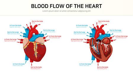 Flux sanguin du cœur
