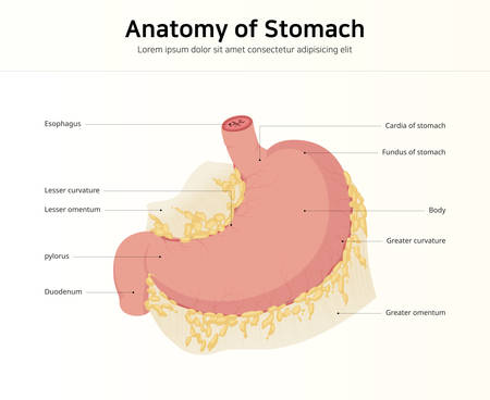 Anatomy of the human stomach Vectores
