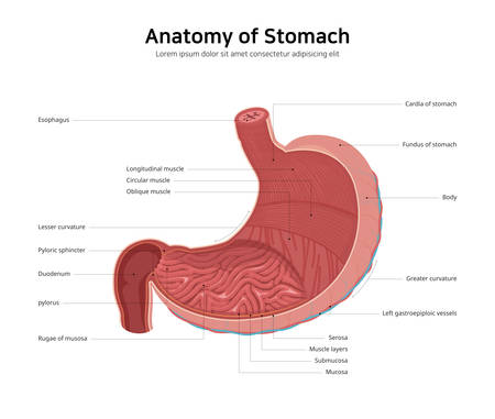 diagram of human stomach anatomy