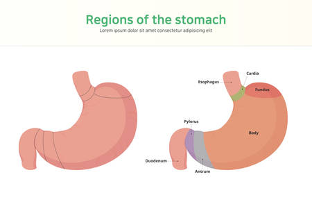 Regions of the stomach. Sections of human stomach.