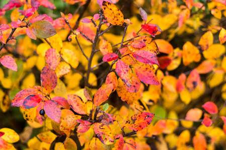 Autumn red leaves autumn bushes Imagens