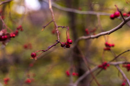 Bright rowan berries.Autumn. Fall scene. Beauty nature scene trees and leaves. Nature background. Selective focus.