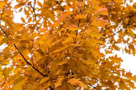 oak autumn, yellow oak leaves Stok Fotoğraf