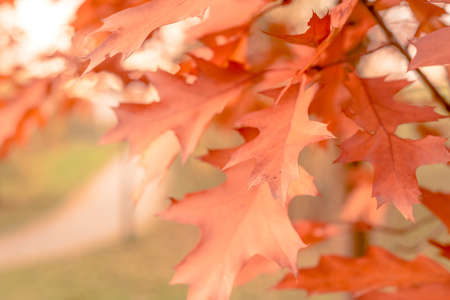 dreaminess: autumn background oak leaves, selective focus