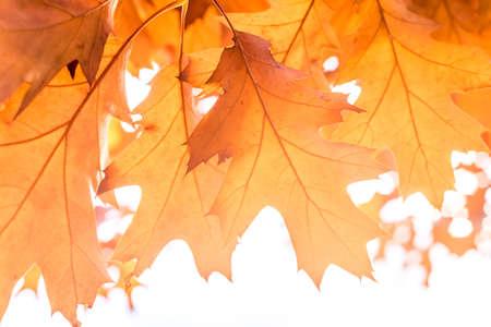 autumn background oak leaves, selective focus, concept autumn, reverie, dreaminess