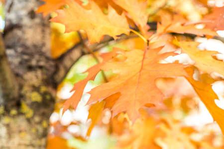 autumn background oak leaves, selective focus
