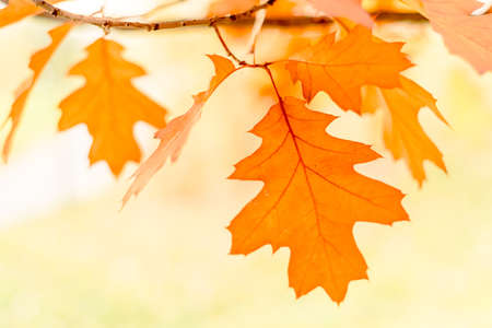 dreaminess: oak leaves isolated on white background, selective focus Stock Photo