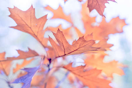 Beautiful branch with orange and yellow oak leaves in late autumn or early winter, morning frost, tender blurry romantic light blue background for design. Stock Photo