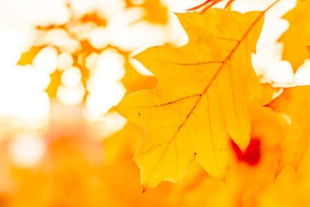 red autumn leaves of oak autumn background 版權商用圖片
