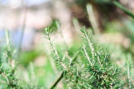 Background of fresh Rosemary Herb grow outdoor. rosemary selective focus blurred background