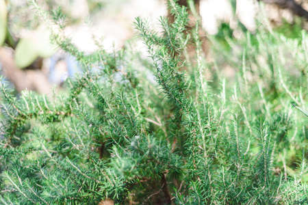 Fresh Rosemary Herb grow outdoor. Rosemary leaves selective focus blurred background Stock Photo