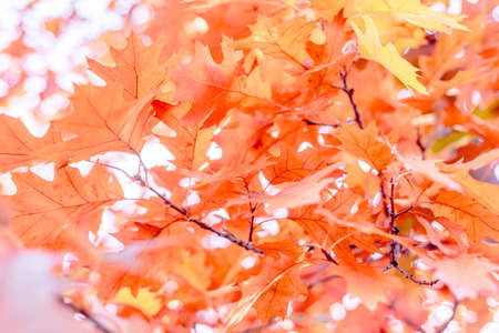 Yellow oak leaves on a background of multicolored trees Stock fotó