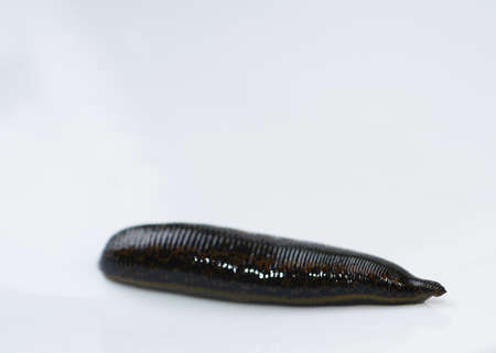 Leech isolated on white  close up