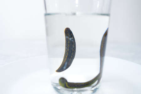 Medical leeches in water before therapy Stock Photo