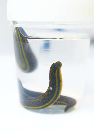 Hirudotherapy. Medical leeches in water before therapy