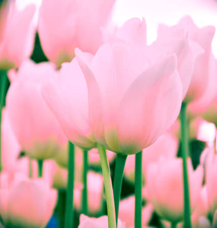 Pink tulips in pastel coral colors on blurred background, close up. Spring flowers in the garden with bokeh effect for your horizontal floral wallpaper, flyers, banners, poster or holiday card. 写真素材