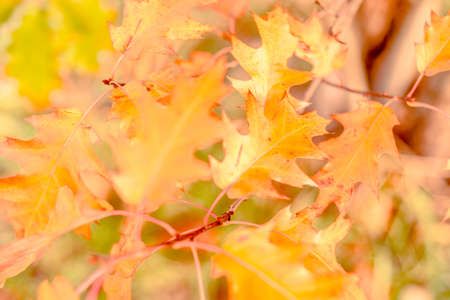 Yellow oak leaves on a background of multicolored trees Stok Fotoğraf