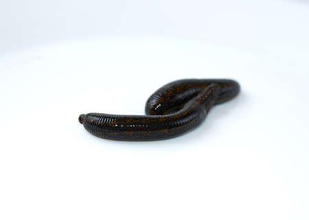 Hirudotherapy, medical leech the suction blood of