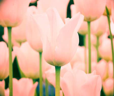 Coral tulips as spring Stock fotó - 133831695