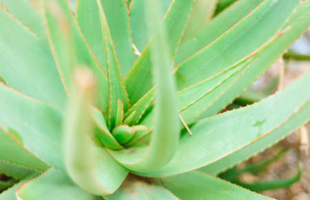 Aloe vera plants, tropical green plants tolerate hot weather.