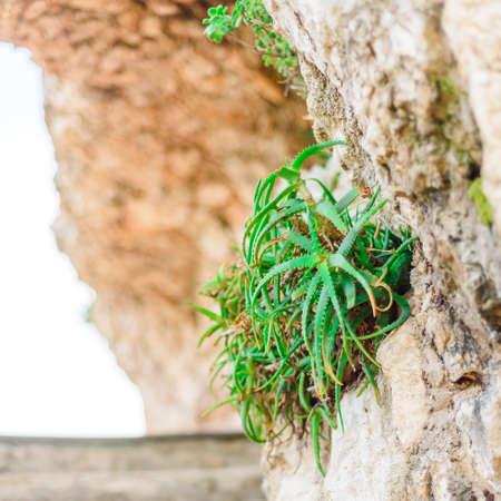 aloe vera best skin medicine in the world, aloe wild growing plant close view