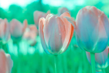 abstract background of tulips in colors aqua menton and lash lava